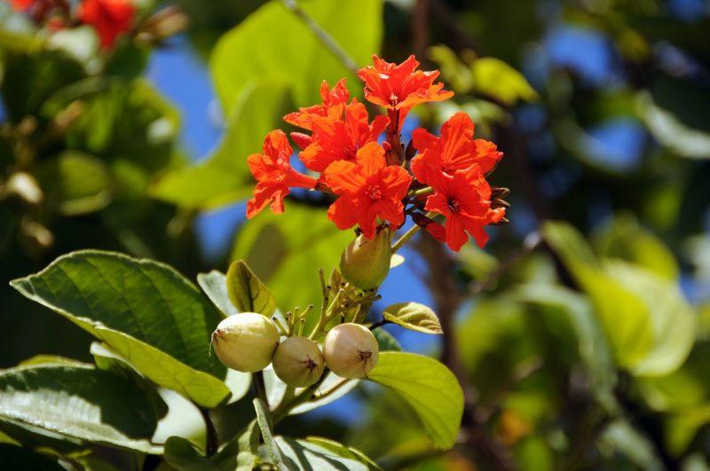 bloem-rood-met-knoppe